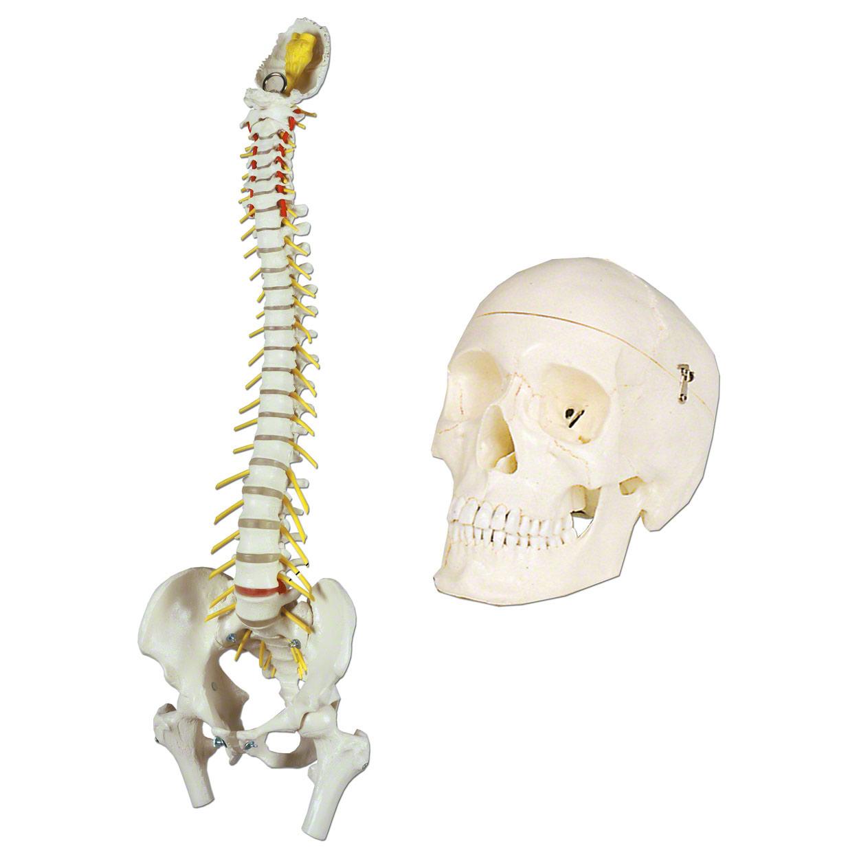 Anatomy Set Skull And Spine 2 Pcs Buy Online Sport Tec