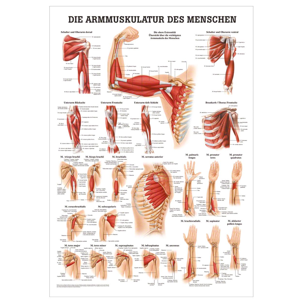 Atemberaubend Wichtigsten Organe Des Menschlichen Körpers Galerie ...