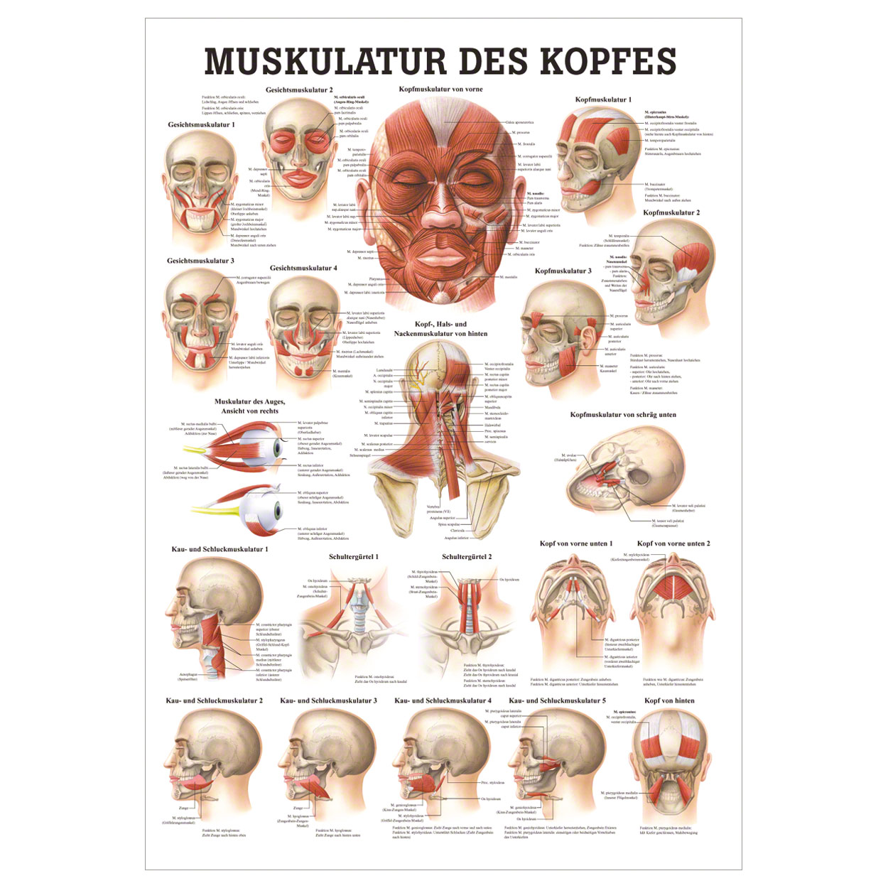 Berühmt Menschliche Nackenmuskulatur Zeitgenössisch - Physiologie ...
