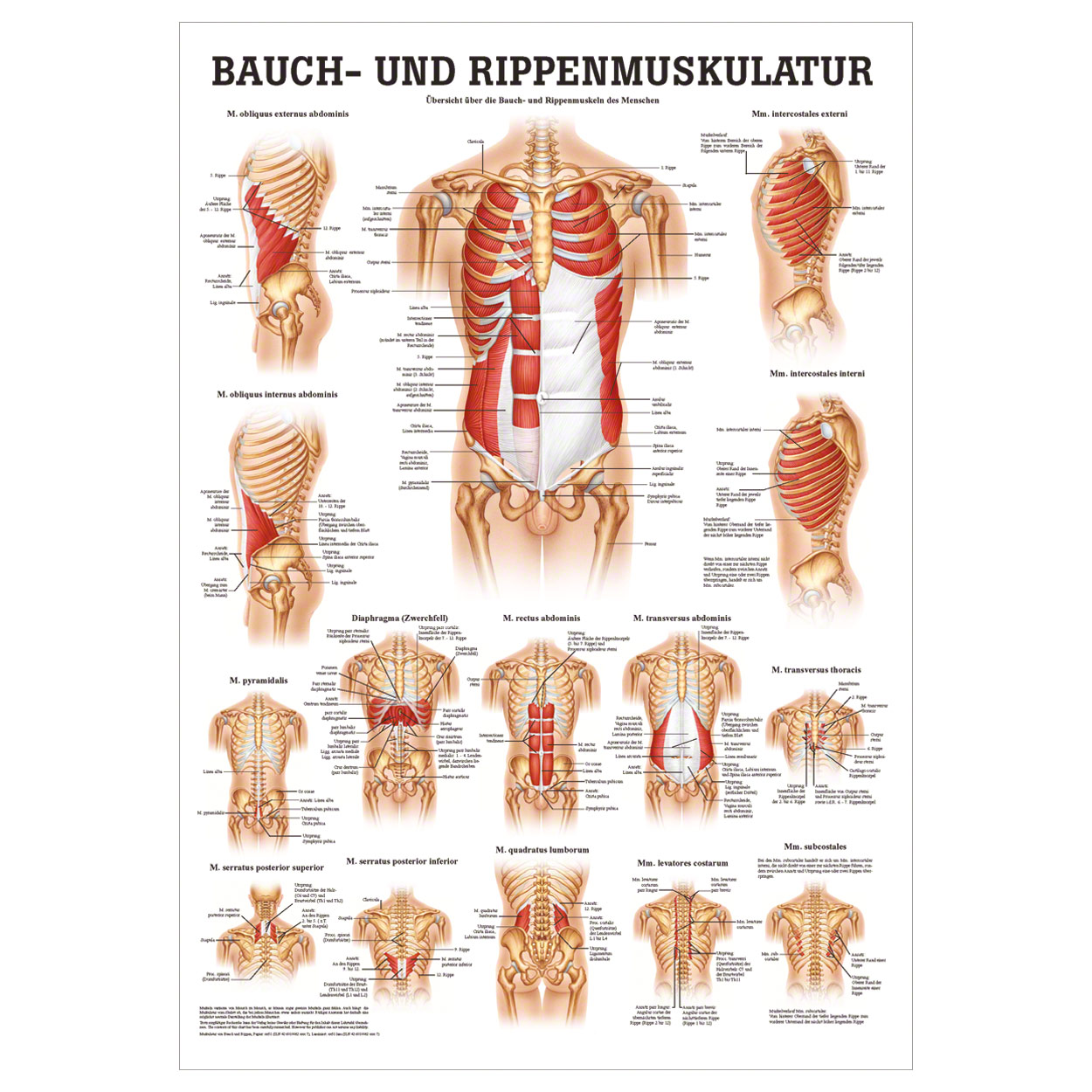 Tolle Obliquus Externus Fotos - Menschliche Anatomie Bilder ...