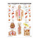 Mini-Poster - Autonomic Nervous System - , LxW 34x24 cm, laminated