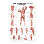 Mini-Poster - Deep muscle layers-back - L x W 34x24 cm