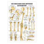 Mini-Poster - The bones of the lower limb - L x W 34x24 cm