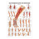 Mini-Poster - The foot muscles - L x W 34x24 cm