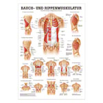 Mini-Poster - abdominal and intercostal muscles, - L x W 34x24 cm