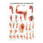 Mini-Poster - arm muscles - , L x W 34x24 cm