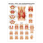 Mini-Poster - buttocks, hips and pelvic muscles, - L x W 34x24 cm