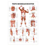 Mini Poster - deep muscle layers-chest - L x W 34x24 cm