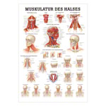 Mini-Poster - muscles of the neck, - L x W 34x24 cm