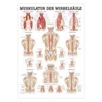 Mini-Poster - musculature of the spine - L x W 34x24 cm