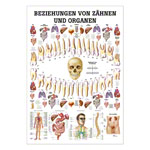Mini Poster - relationships between teeth and organs, - L x W 34x24 cm