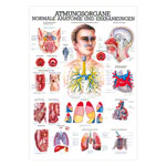 Mini-Poster - respiratory system - , LxW 34x24 cm