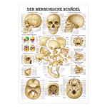 Mini-Poster - skull and bones of the skull, - L x W 34x24 cm