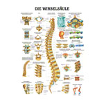 Mini-Poster - spinal column - L x W 34x24 cm