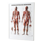 Relief panel human muscular system, LxW 74x54 cm