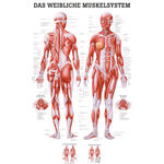Wall chart - Female muscular system, - LxW 100x70 cm