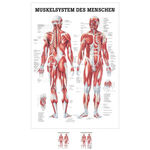 Wall chart - Human muscular system, - LxW 100x70 cm,