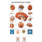 Wall chart - The Brain - , LxW 100x70 cm
