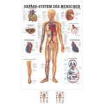 Wall chart - The Vascular System - , LxW 100x70 cm