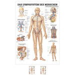 Wall chart - The lymphatic system - , LxW 100x70 cm