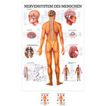 Wall chart - The nervous system - , LxW 100x70 cm
