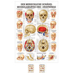 Wall chart - The skull - muscle insertions and origins - , LxW 100x70 cm