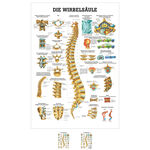 Wall chart - The spinal column - , LxW 100x70 cm