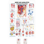 Wall chart - kidney and ureters, - LxW 100x70 cm