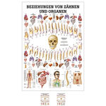 Wall chart - relationships between teeth and organs, - LxW 100x70 cm