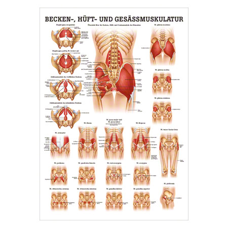 Mini-Poster - buttocks, hips and pelvic muscles, - L x W 34x24 cm ...
